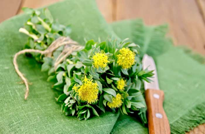 What is Rhodiola