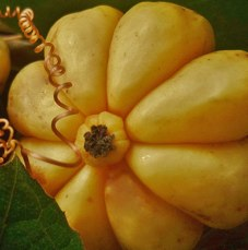 Garcinia fruit extract