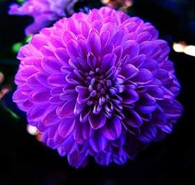 Purple chrysanthemum slimming tablets